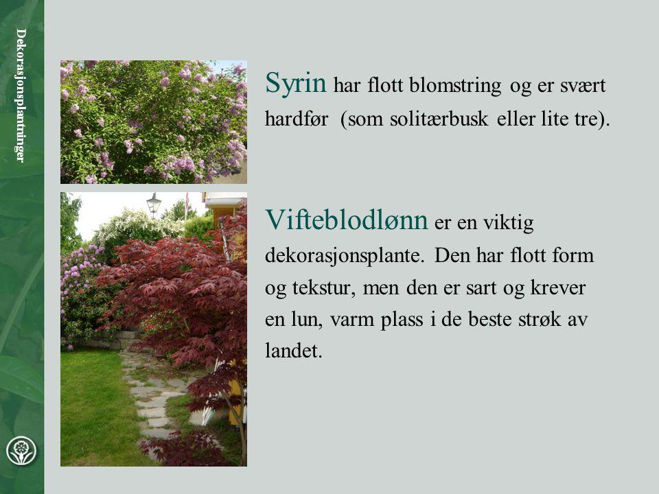 Rododendron har vakker blomstring og bladverk med særpreget tekstur. Dekorasjonsplantninger