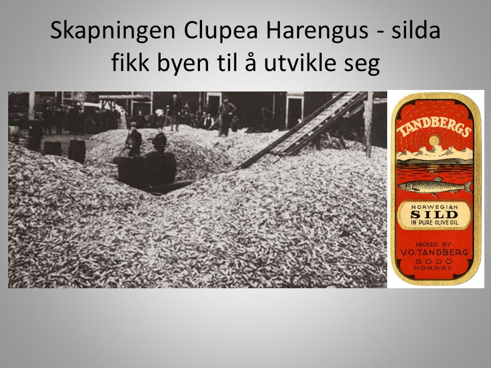 Skapningen Clupea Harengus - silda fikk byen til å utvikle seg
