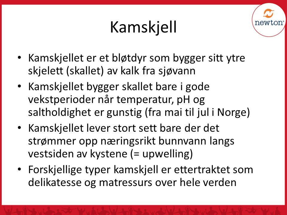 Kamskjell Kamskjellet er et bløtdyr som bygger sitt ytre skjelett (skallet) av kalk fra sjøvann.