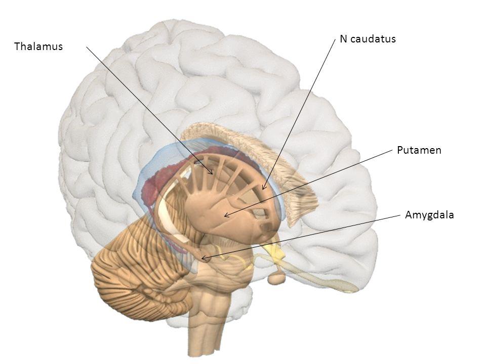 N caudatus Thalamus Putamen Amygdala