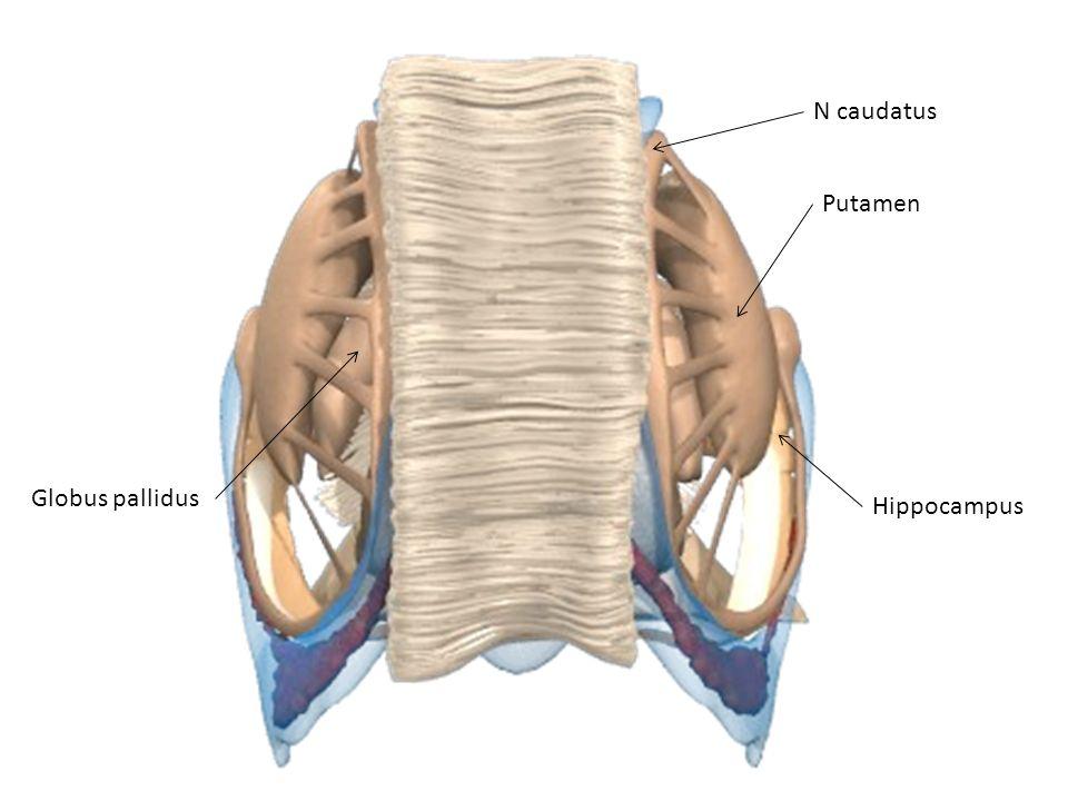 N caudatus Putamen Globus pallidus Hippocampus