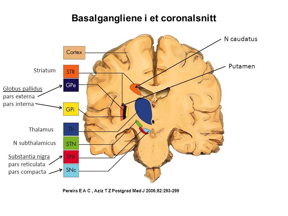 Basalgangliene i et coronalsnitt