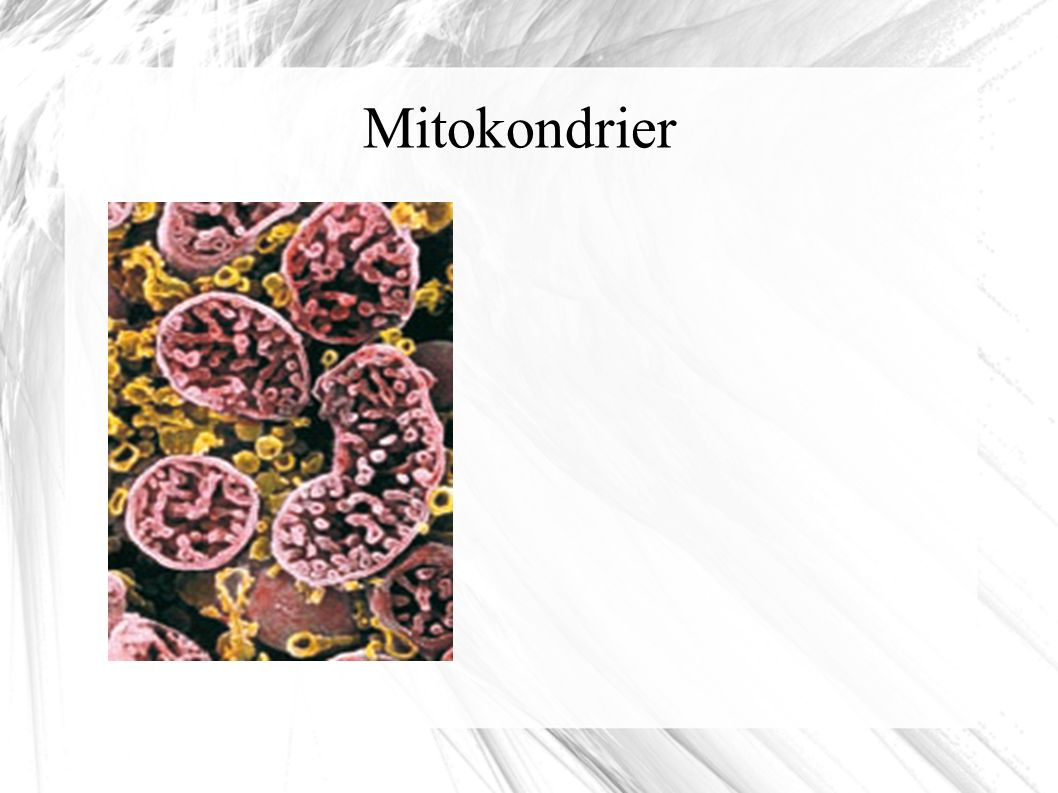 Mitokondrier