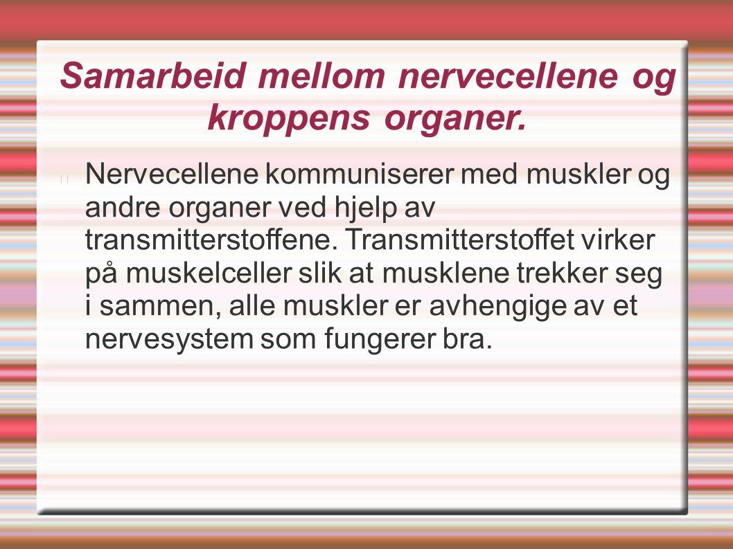 Samarbeid mellom nervecellene og kroppens organer.