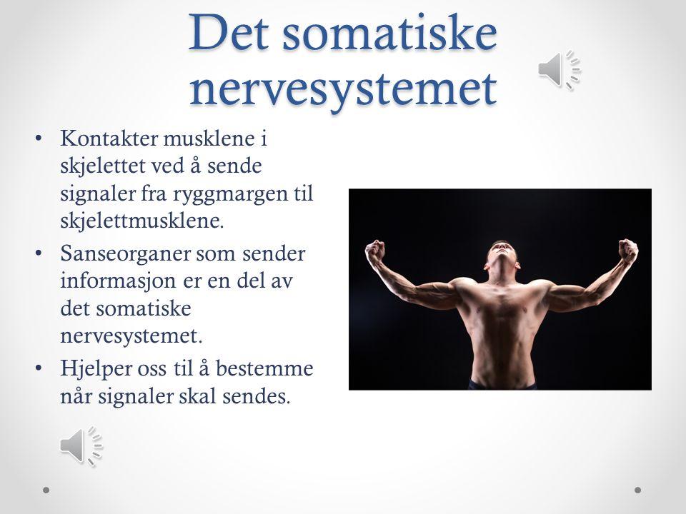 Det somatiske nervesystemet