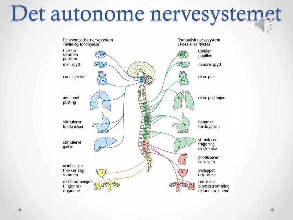 Det autonome nervesystemet