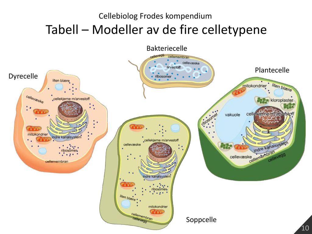 Tabell – Modeller av de fire celletypene