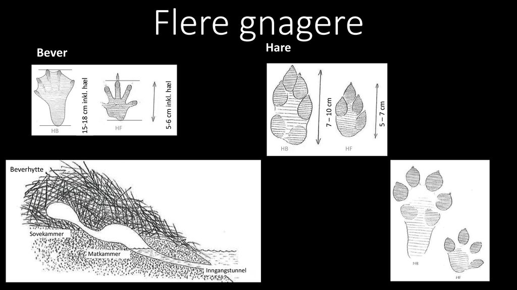 Flere gnagere Hare Bever 15-18 cm inkl. hæl 5-6 cm inkl. hæl 7 – 10 cm