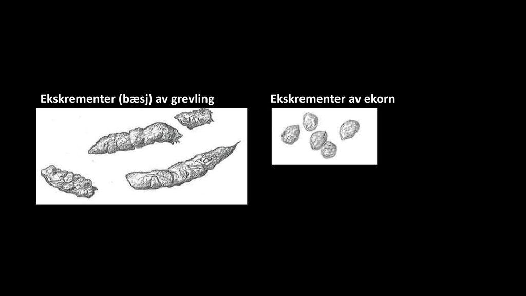 Ekskrementer (bæsj) av grevling Ekskrementer av ekorn