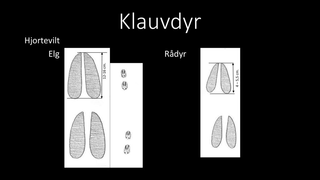 Klauvdyr Hjortevilt Elg Rådyr 12-16 cm. 4 – 5,5 cm.