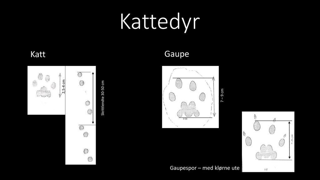 Kattedyr Katt Gaupe Gaupespor – med klørne ute 2,5-4 cm