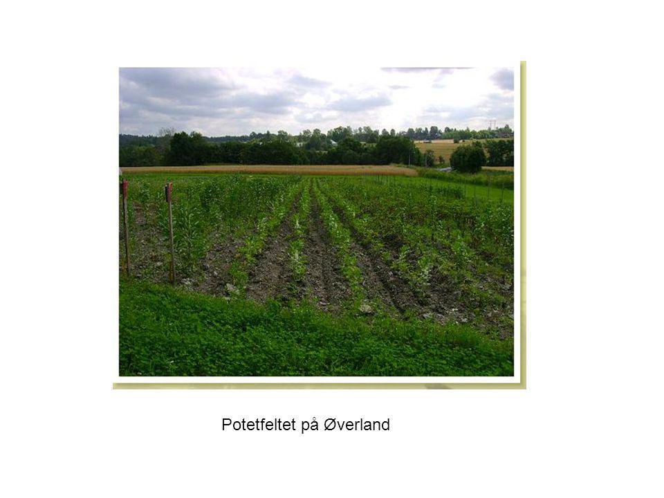 Potetfeltet på Øverland