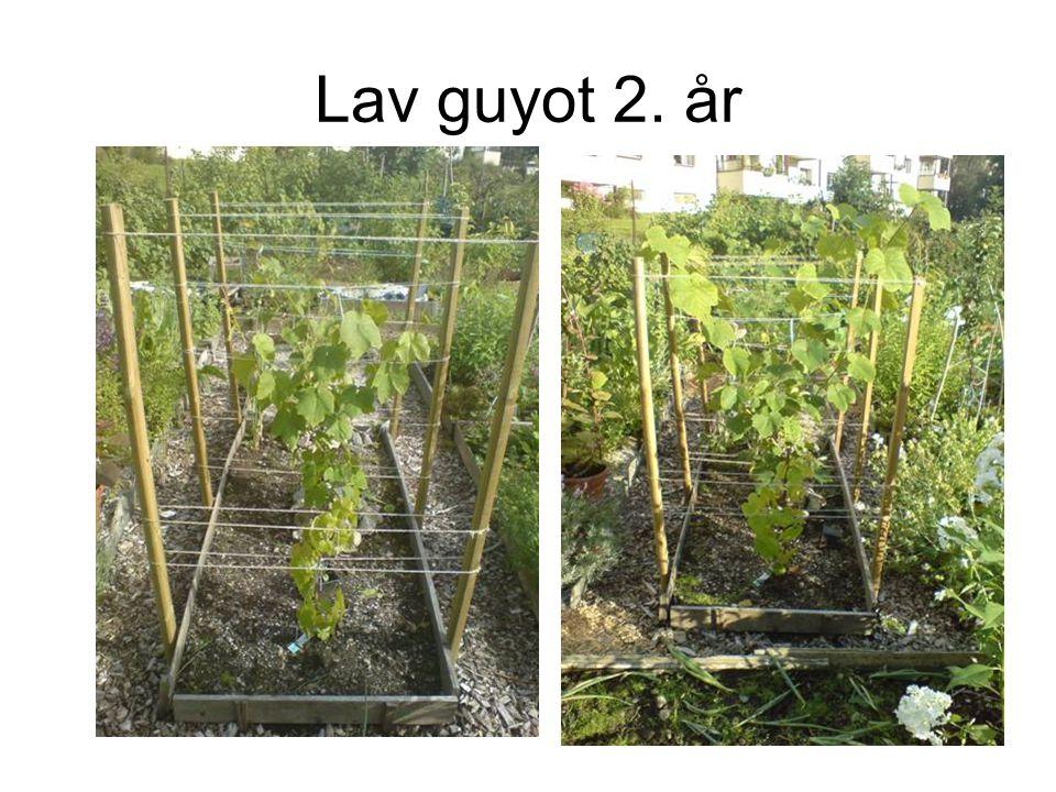 Lav guyot 2. år