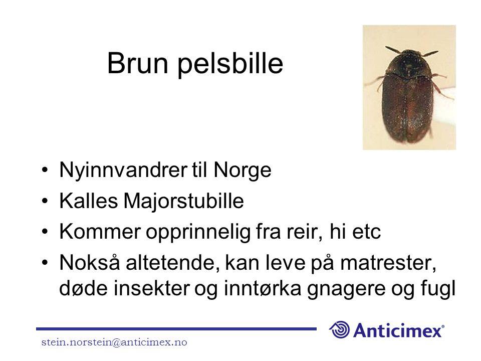 Brun pelsbille Nyinnvandrer til Norge Kalles Majorstubille
