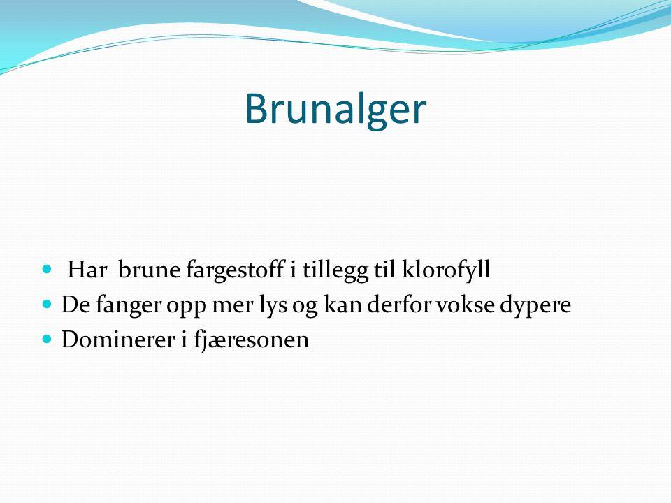 Brunalger Har brune fargestoff i tillegg til klorofyll