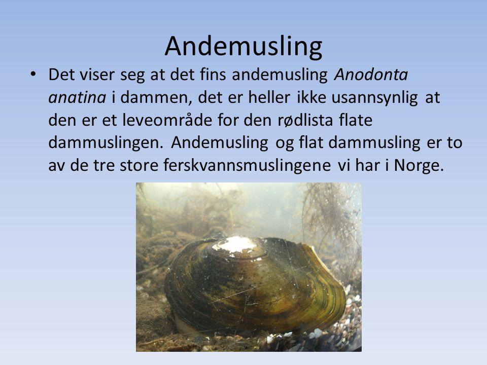 Andemusling
