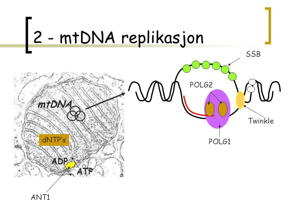 2 - mtDNA replikasjon mtDNA ADP ATP SSB POLG2 Twinkle dNTP's POLG1