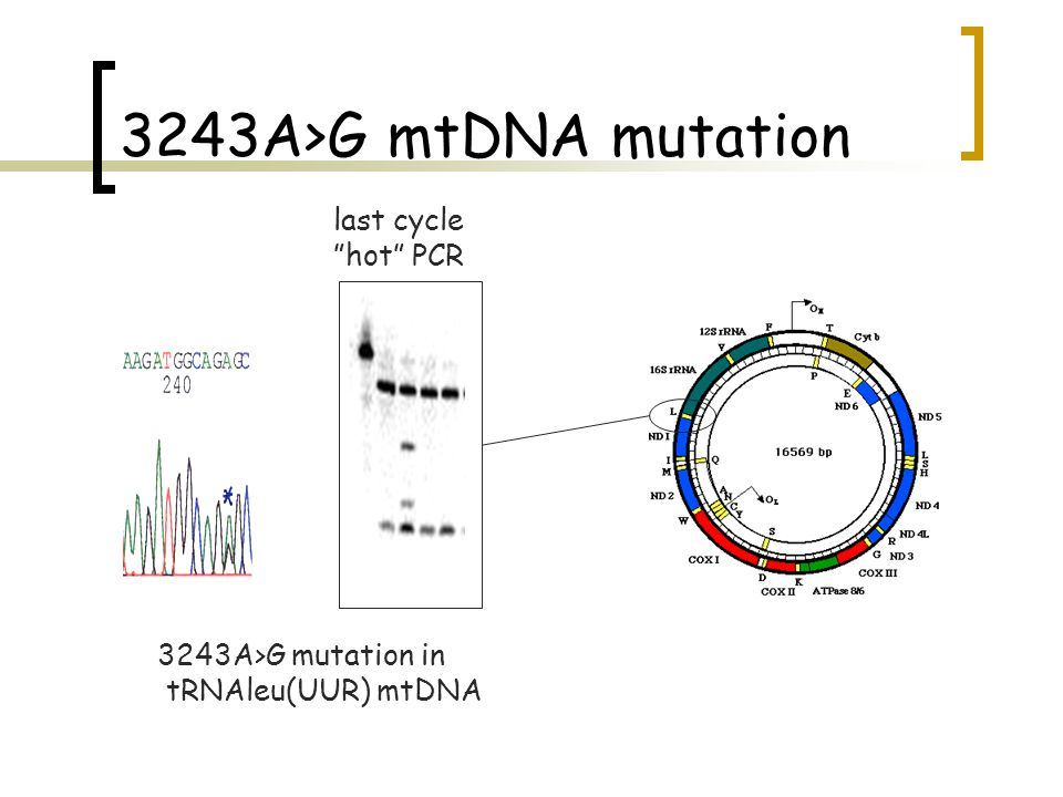 3243A>G mtDNA mutation last cycle hot PCR 3243A>G mutation in