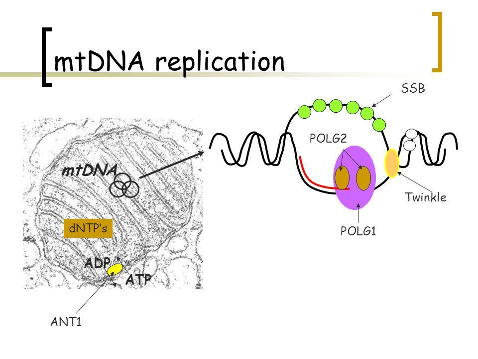 mtDNA replication SSB POLG2 mtDNA Twinkle dNTP's POLG1 ADP ATP ANT1