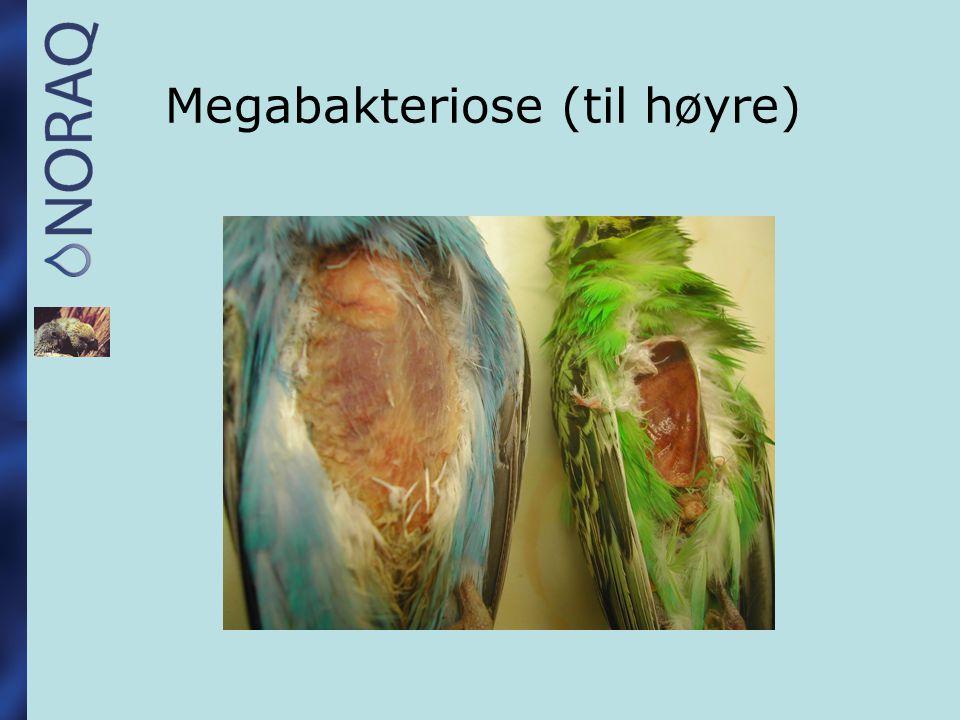 Megabakteriose (til høyre)