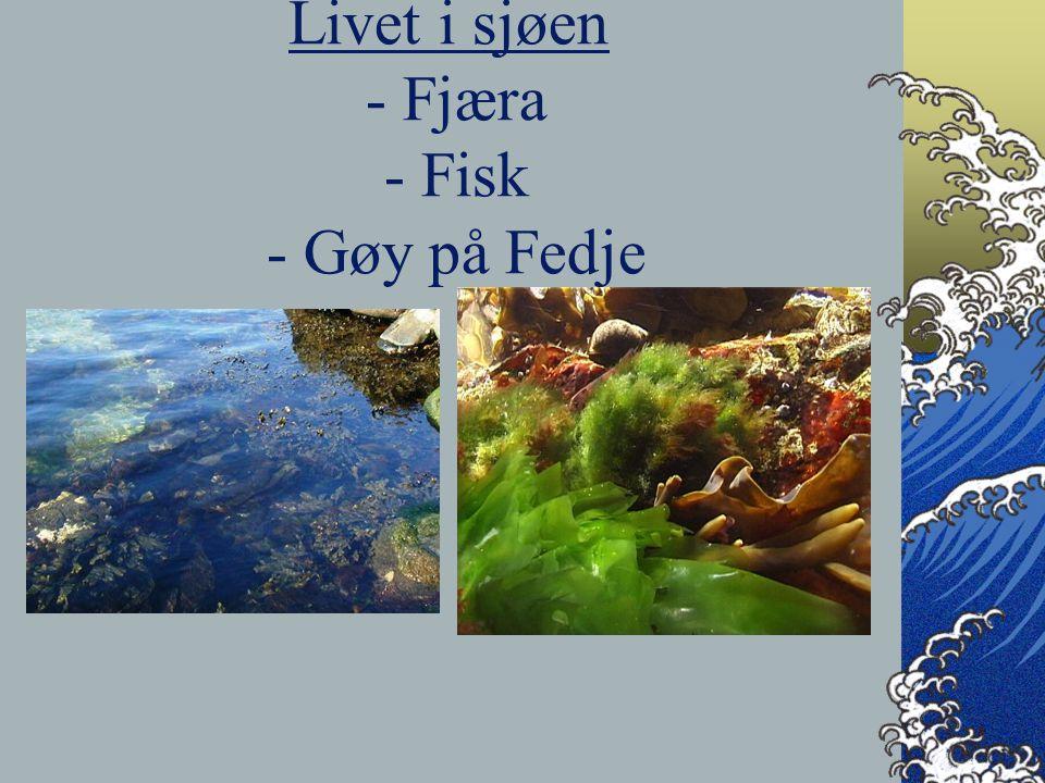 Livet i sjøen - Fjæra - Fisk - Gøy på Fedje
