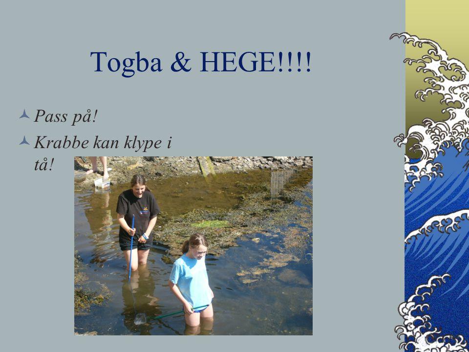 Togba & HEGE!!!! Pass på! Krabbe kan klype i tå!