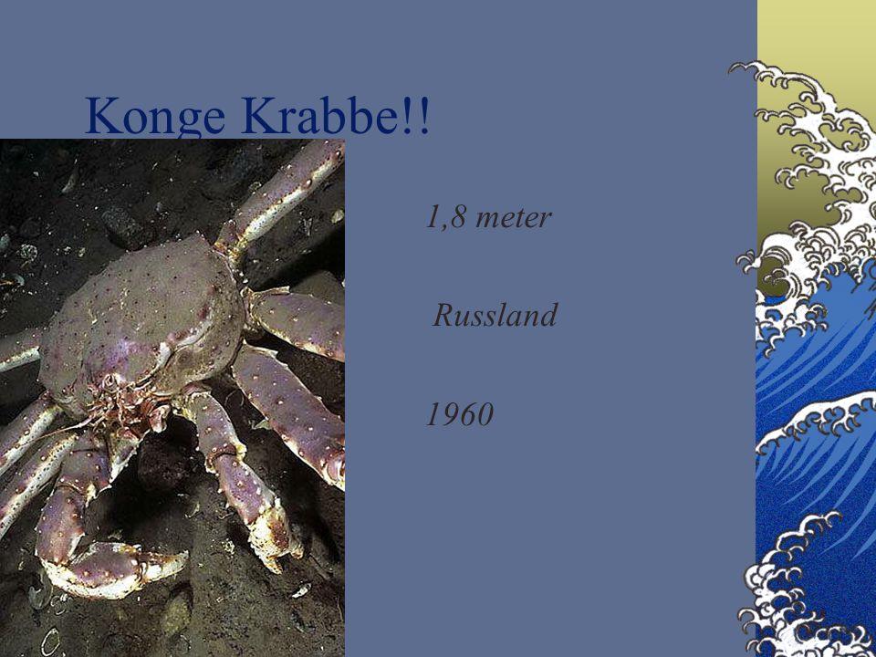 Konge Krabbe!! 1,8 meter Russland 1960