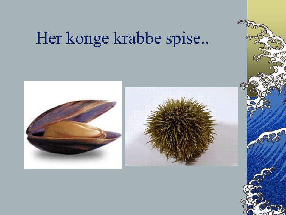 Her konge krabbe spise..