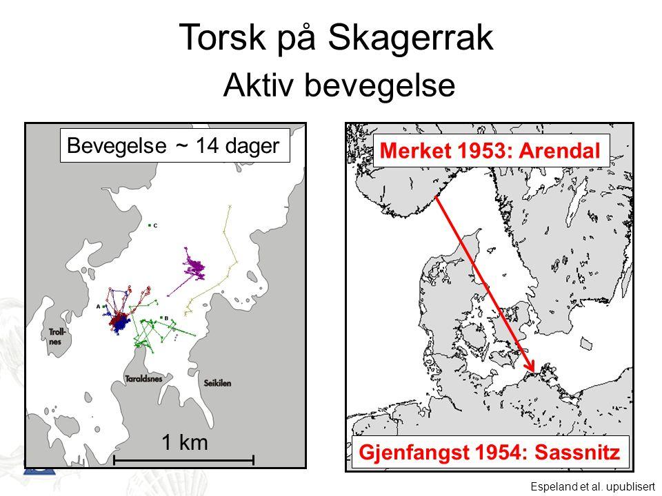 Torsk på Skagerrak Aktiv bevegelse Bevegelse ~ 14 dager