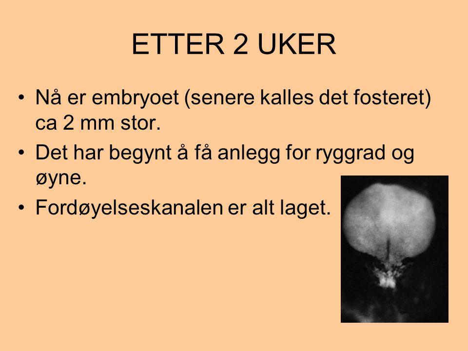 ETTER 2 UKER Nå er embryoet (senere kalles det fosteret) ca 2 mm stor.