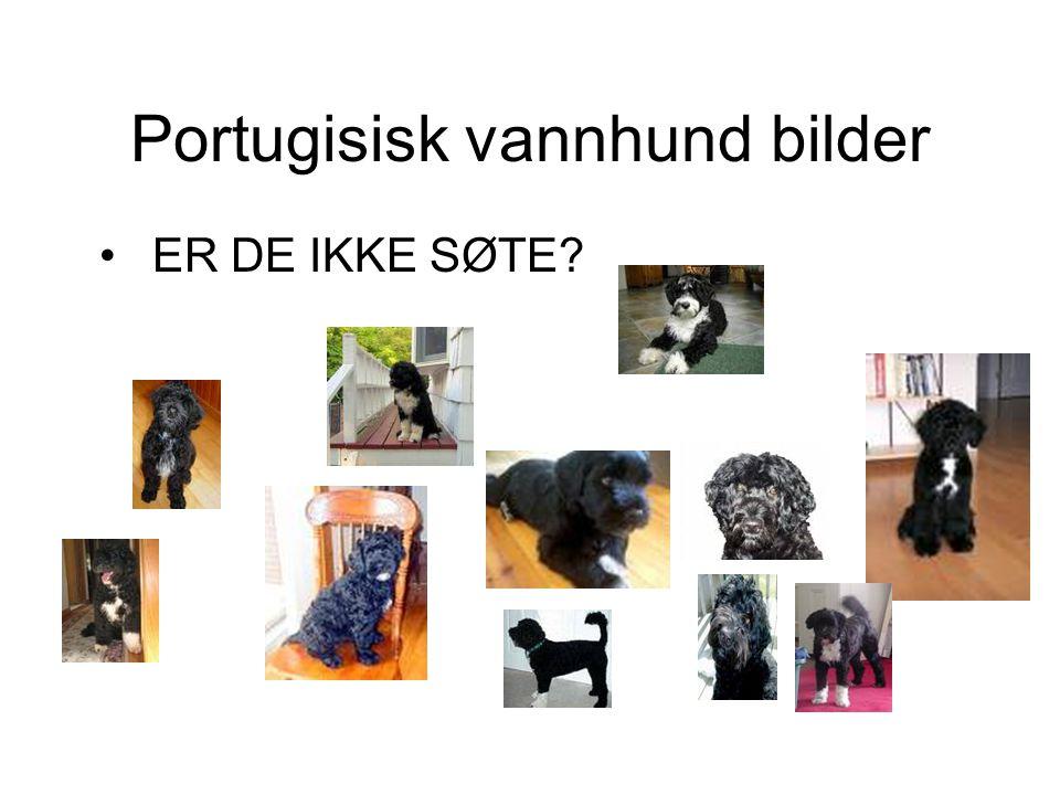 Portugisisk vannhund bilder