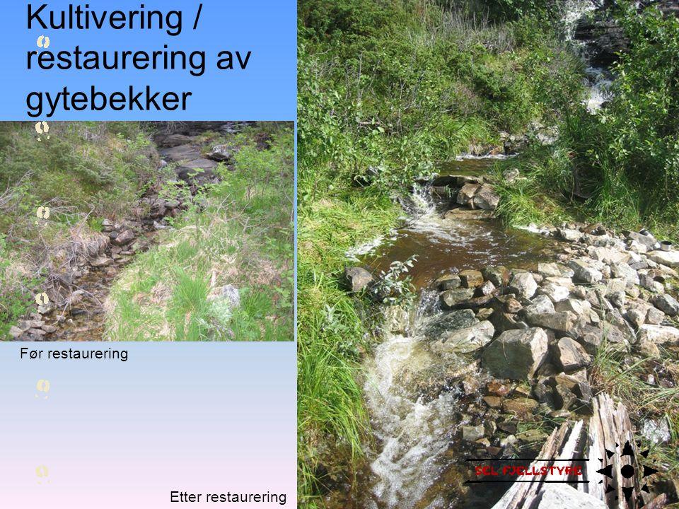 Kultivering / restaurering av gytebekker
