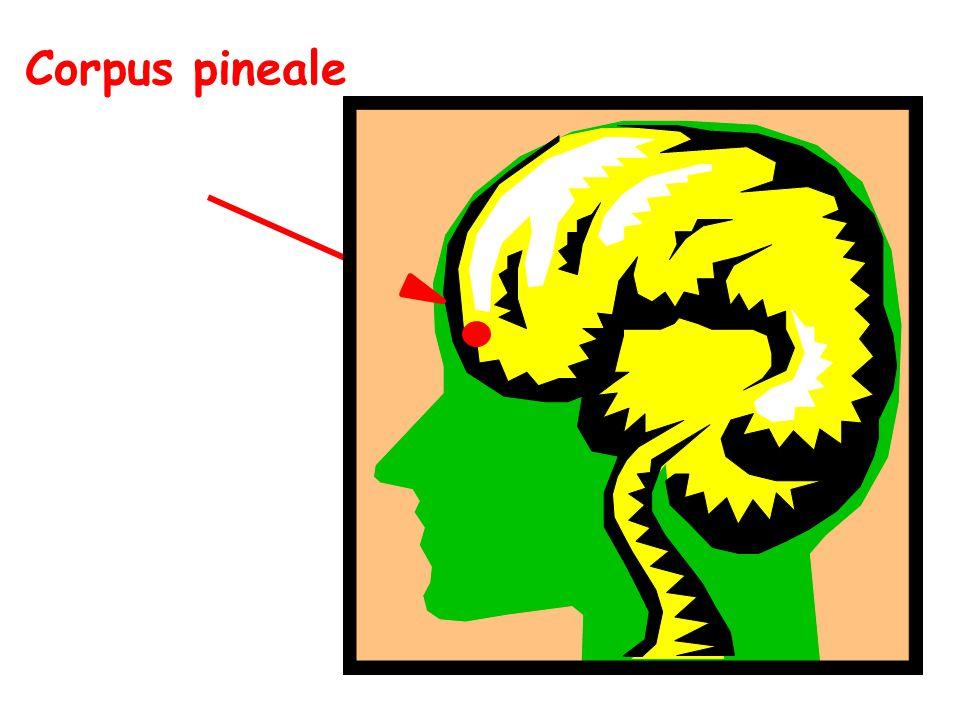 Corpus pineale