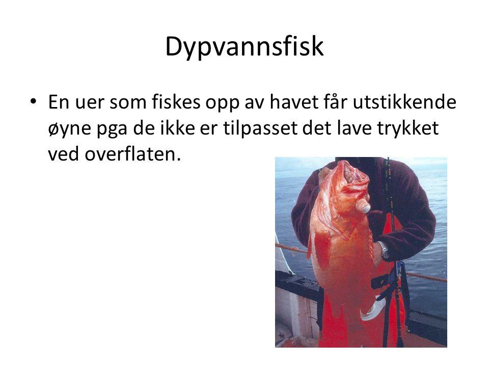 Dypvannsfisk En uer som fiskes opp av havet får utstikkende øyne pga de ikke er tilpasset det lave trykket ved overflaten.