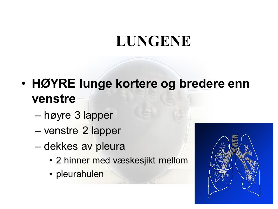 LUNGENE HØYRE lunge kortere og bredere enn venstre høyre 3 lapper