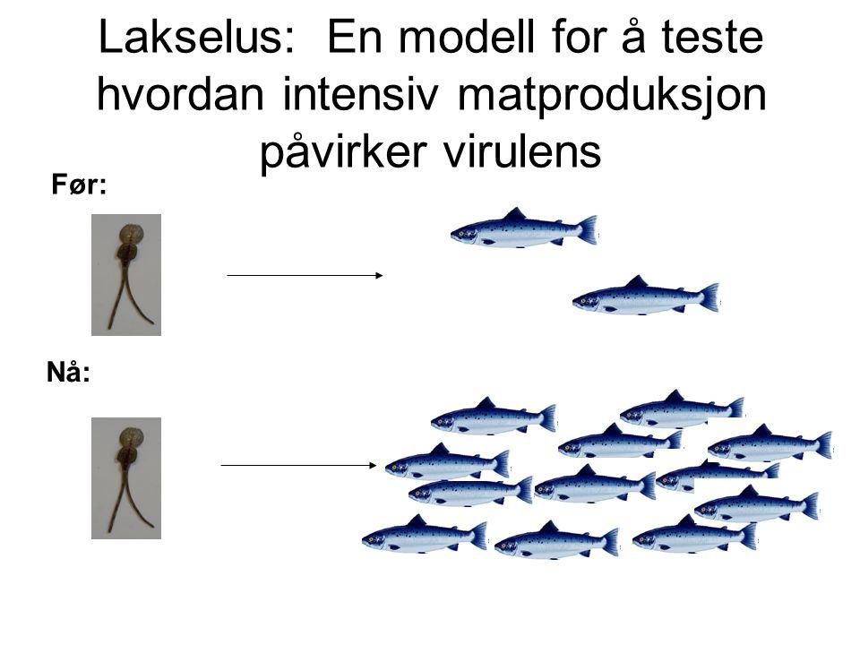 Lakselus: En modell for å teste hvordan intensiv matproduksjon påvirker virulens