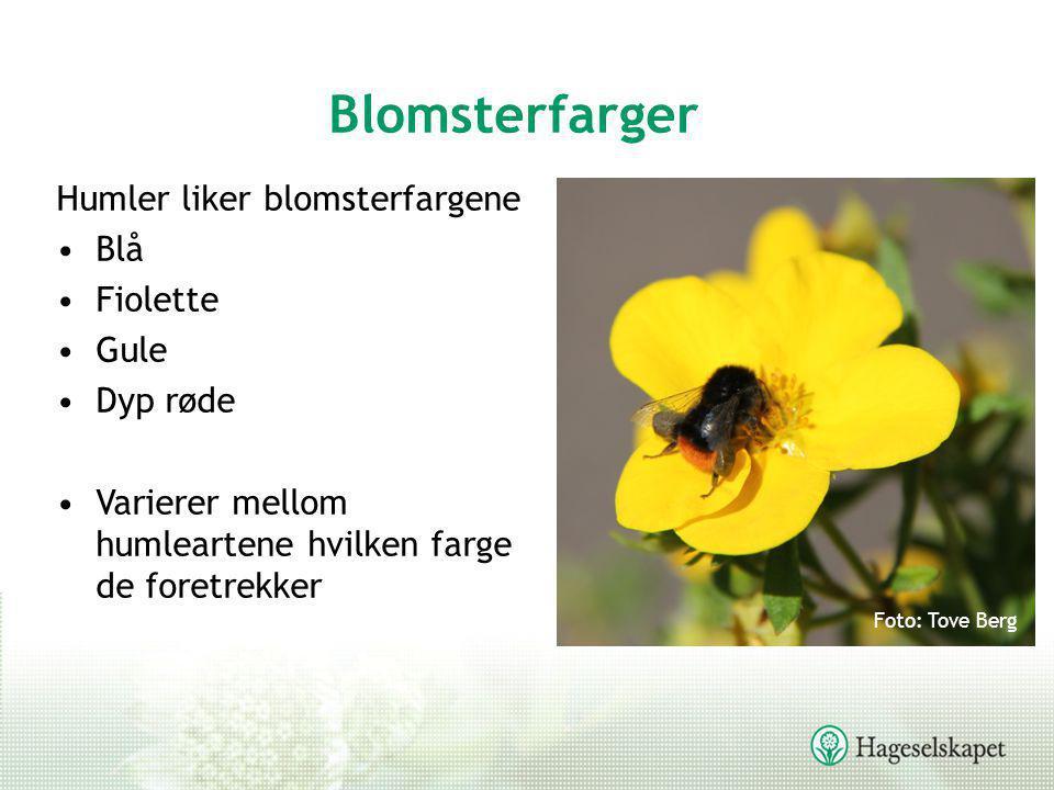 Blomsterfarger Humler liker blomsterfargene Blå Fiolette Gule Dyp røde