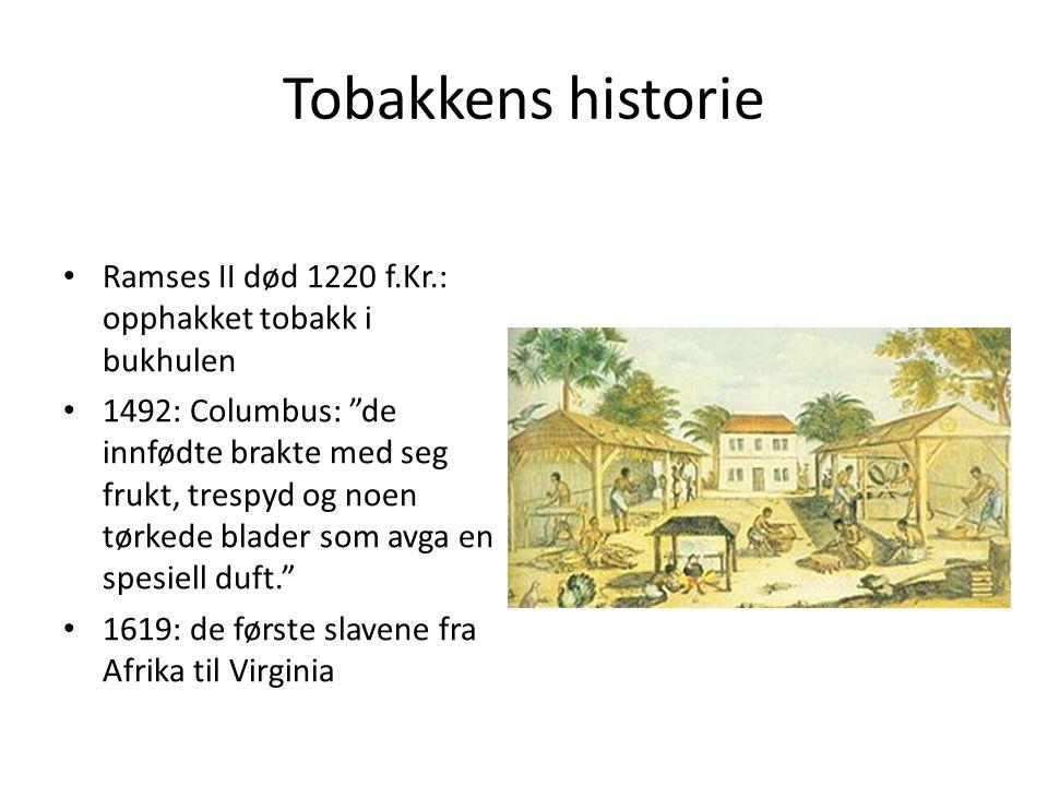 Tobakkens historie Ramses II død 1220 f.Kr.: opphakket tobakk i bukhulen.