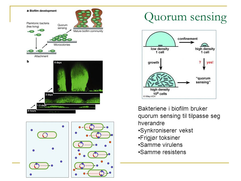 Quorum sensing Bakteriene i biofilm bruker quorum sensing til tilpasse seg hverandre. Synkroniserer vekst.