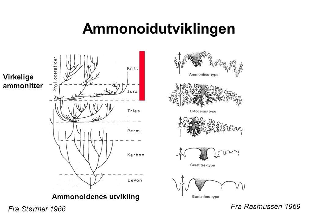 Ammonoidutviklingen Virkelige ammonitter Ammonoidenes utvikling