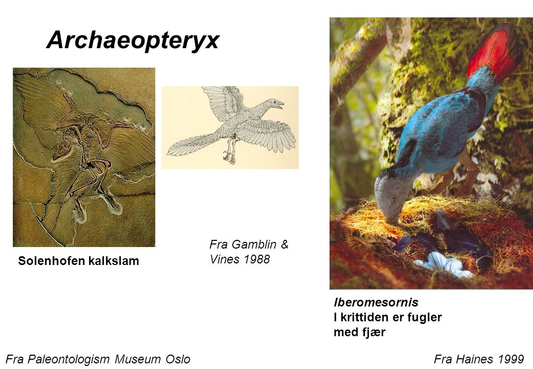 Archaeopteryx Fra Gamblin & Vines 1988 Solenhofen kalkslam