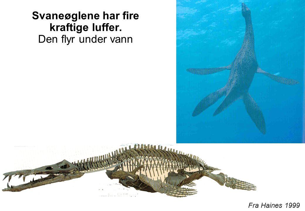 Svaneøglene har fire kraftige luffer. Den flyr under vann
