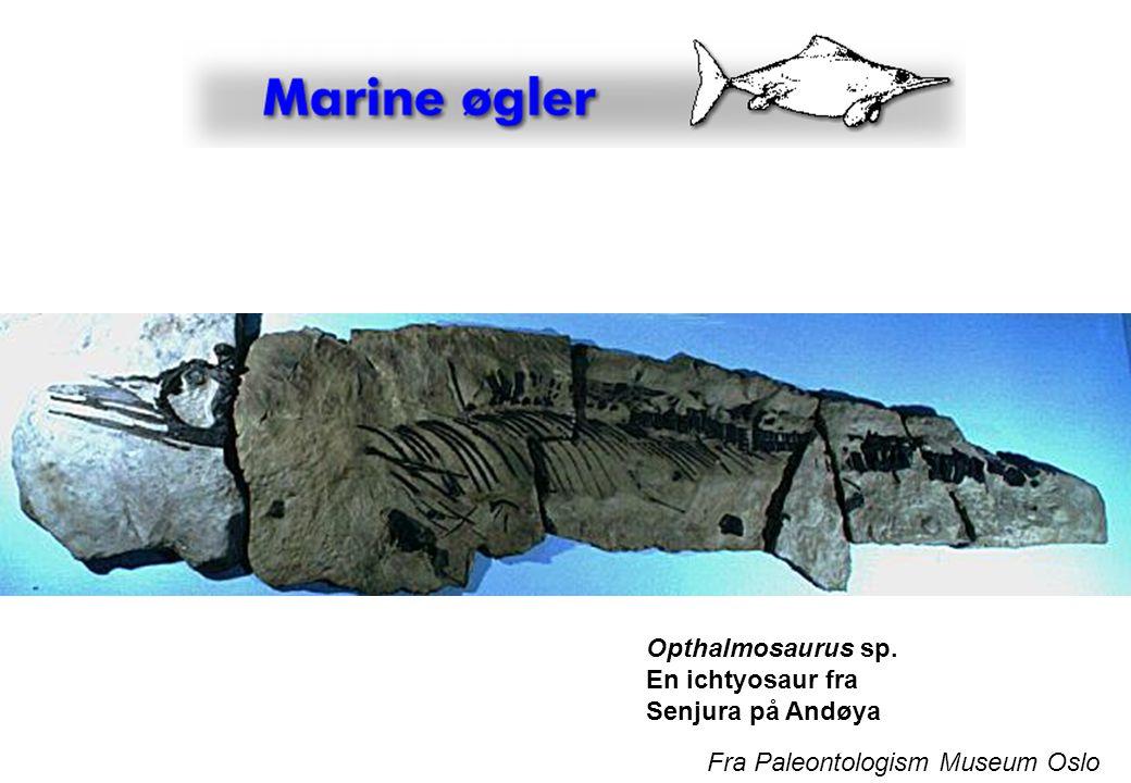 Opthalmosaurus sp. En ichtyosaur fra Senjura på Andøya Fra Paleontologism Museum Oslo