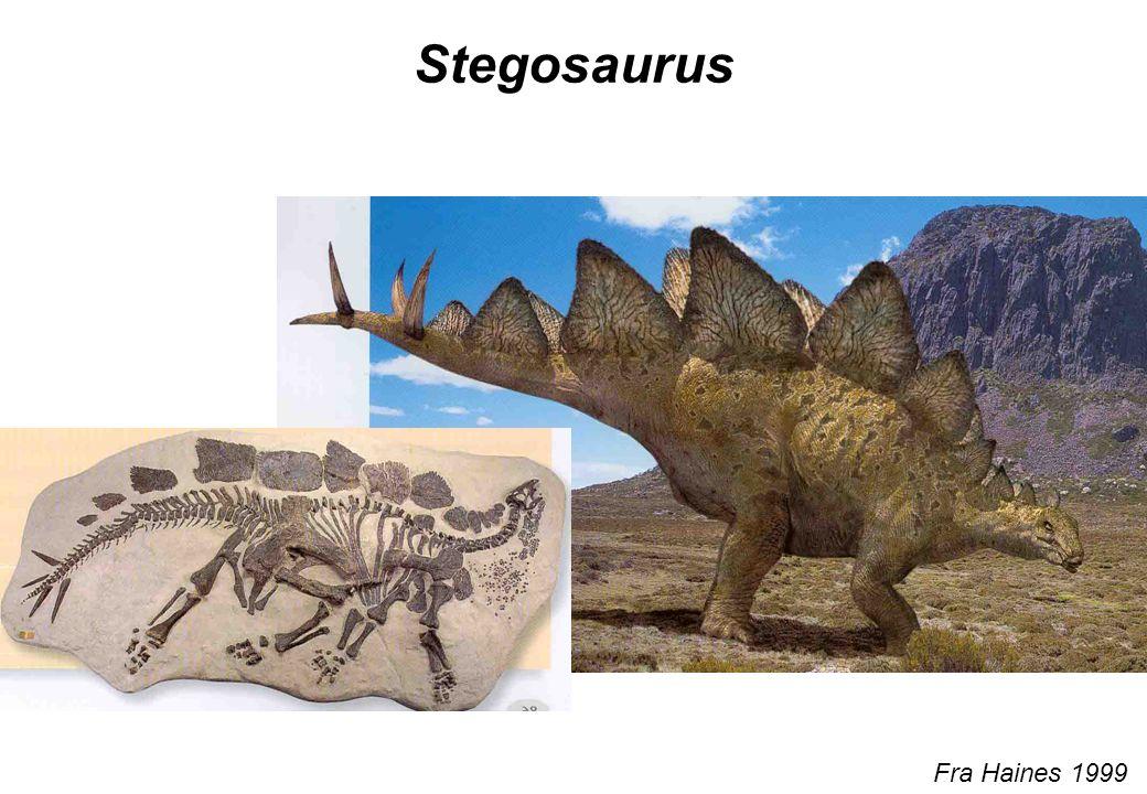 Stegosaurus Fra Haines 1999