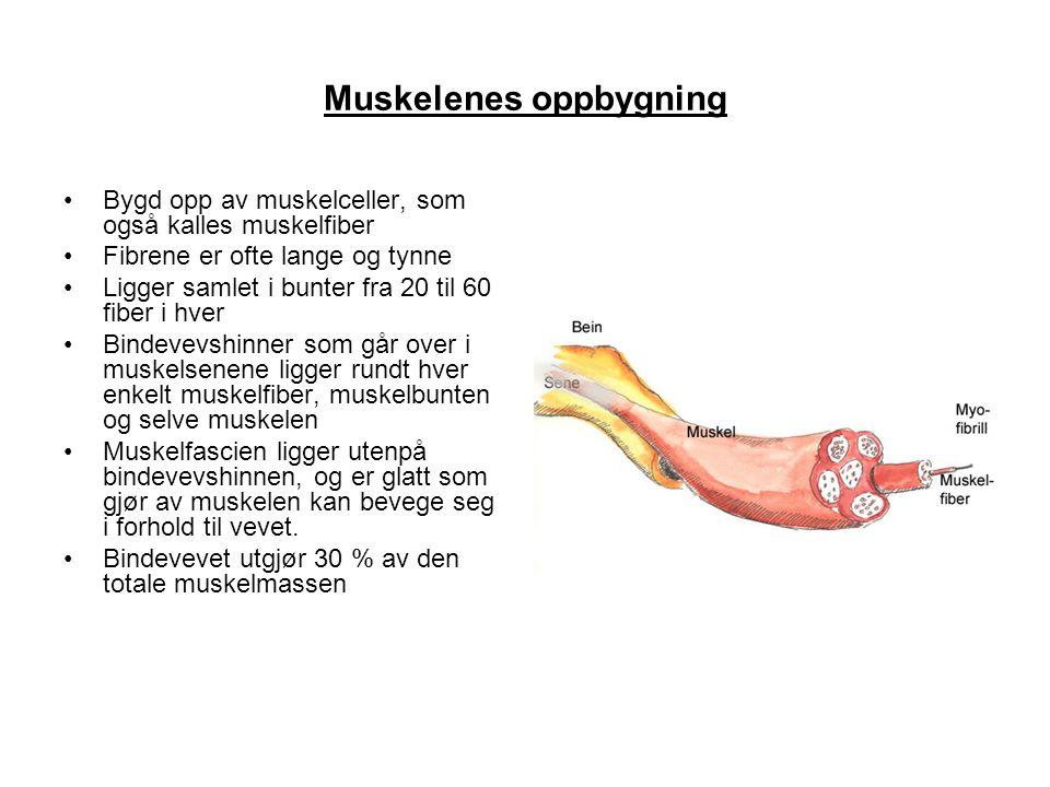Muskelenes oppbygning