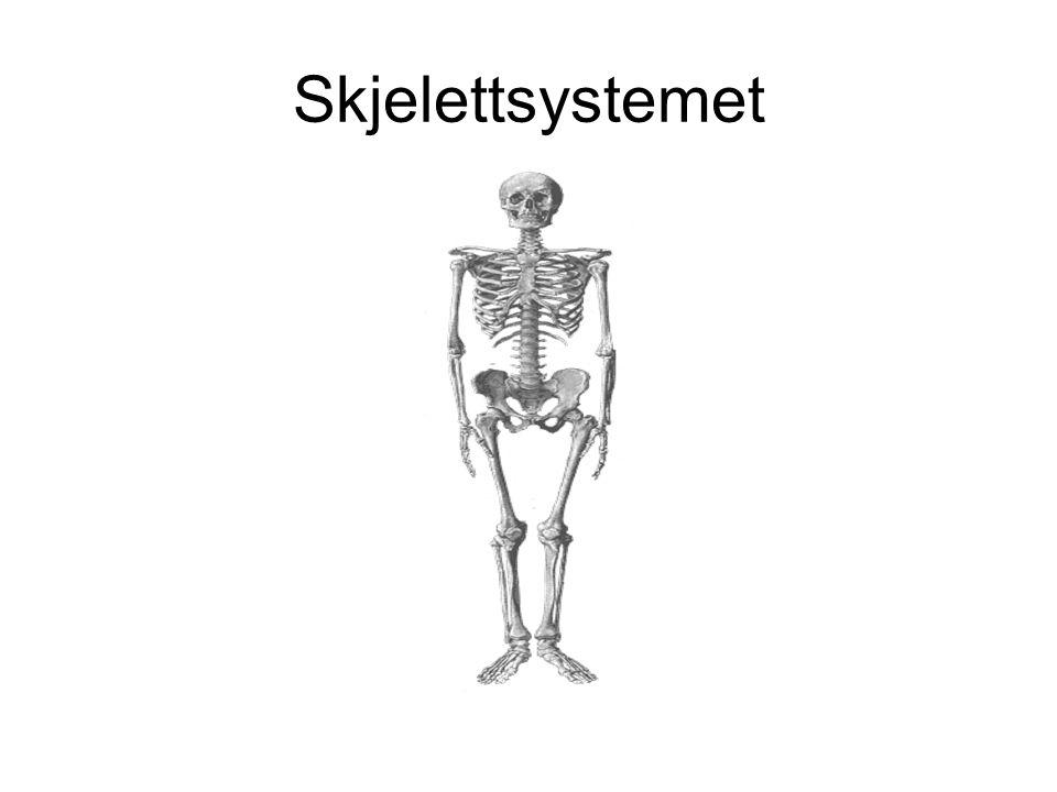Skjelettsystemet