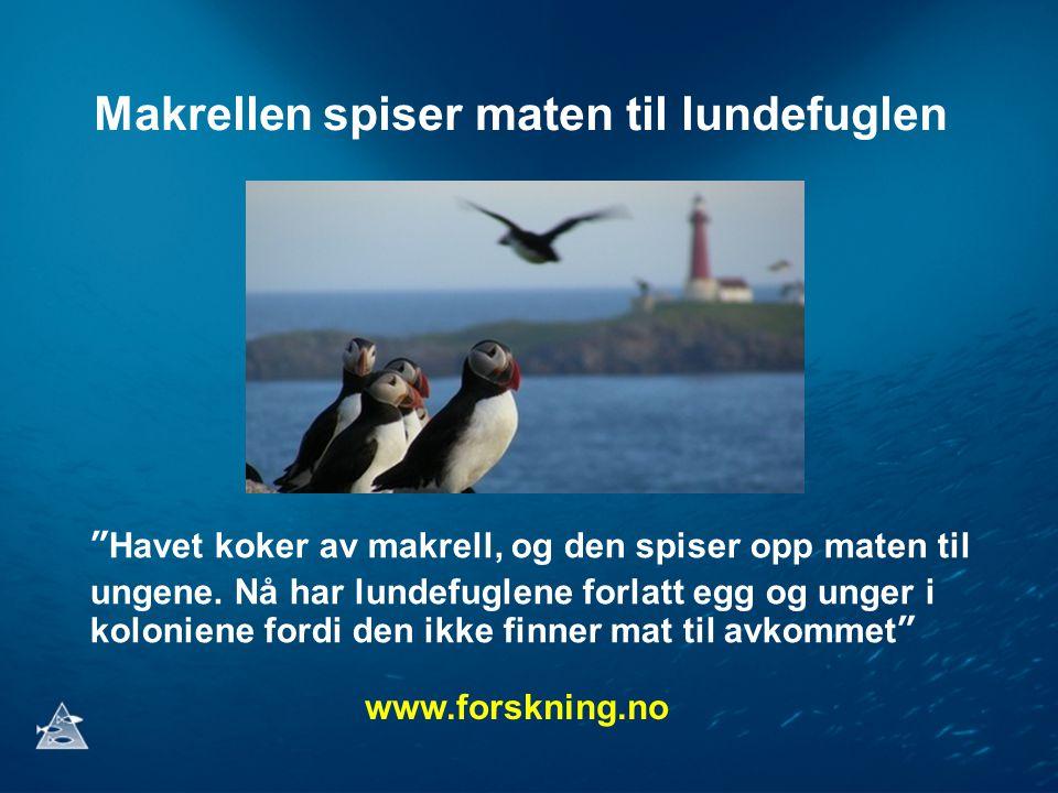 Makrellen spiser maten til lundefuglen