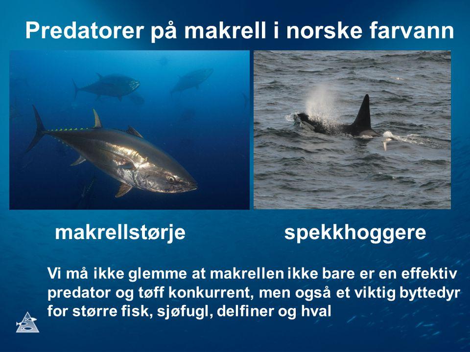 Predatorer på makrell i norske farvann