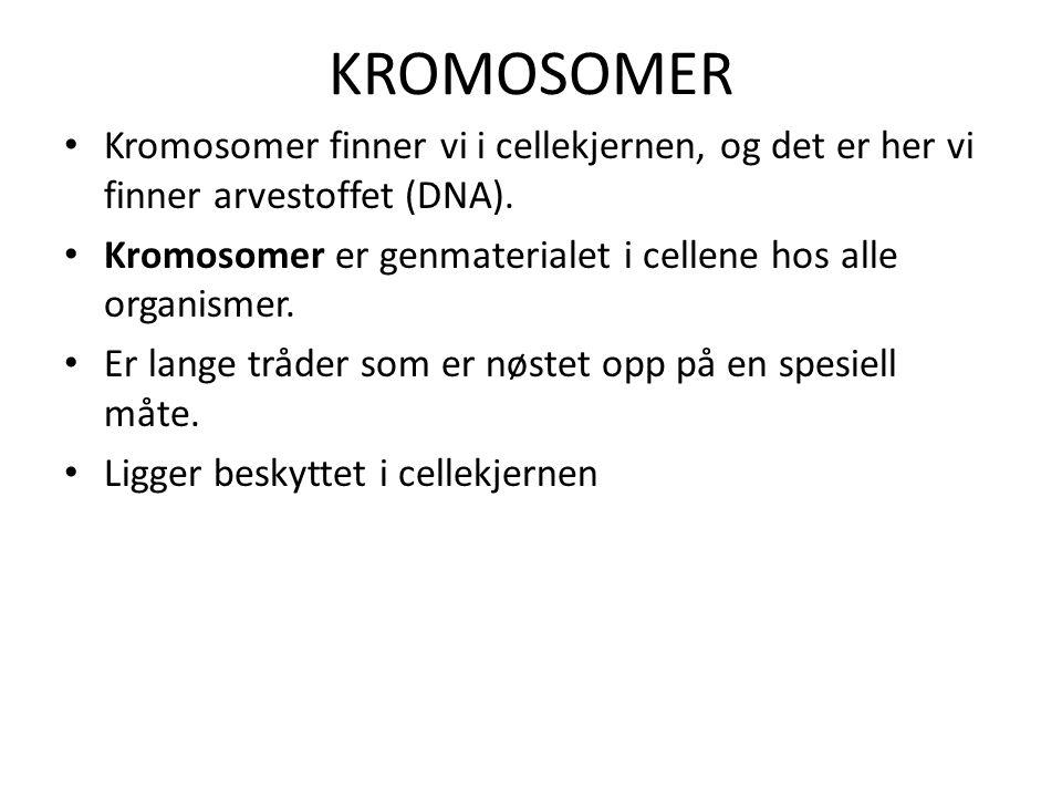 KROMOSOMER Kromosomer finner vi i cellekjernen, og det er her vi finner arvestoffet (DNA).