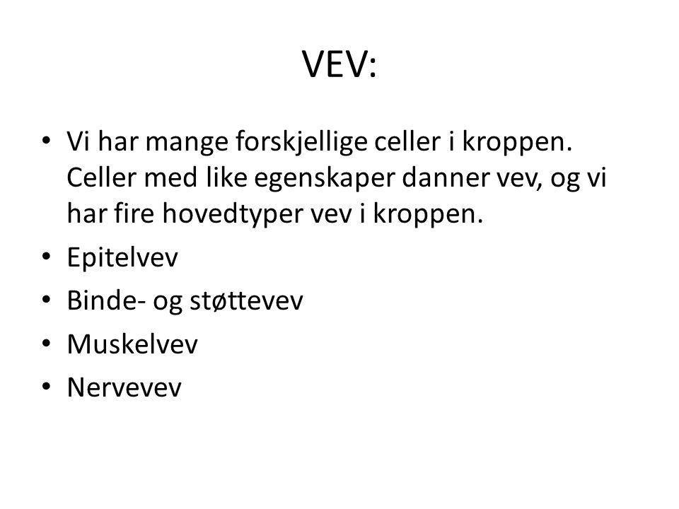 VEV: Vi har mange forskjellige celler i kroppen. Celler med like egenskaper danner vev, og vi har fire hovedtyper vev i kroppen.
